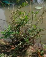 Acanthus ebracteatus