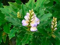 Acanthus illicifolius Acanthus Long spike
