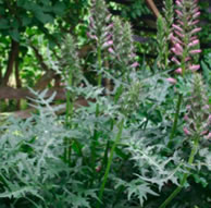 Acanthus Commonly In Cultivation Hillview Hardy Plants
